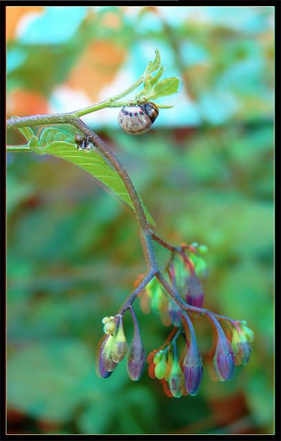 Leptinotarsa Juncta - False Potato Beetle Larva Feeding 1 - Anaglyph 3D