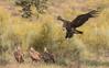 Cinereous [Eurasian Black] Vulture (3 of 5) by tickspics 