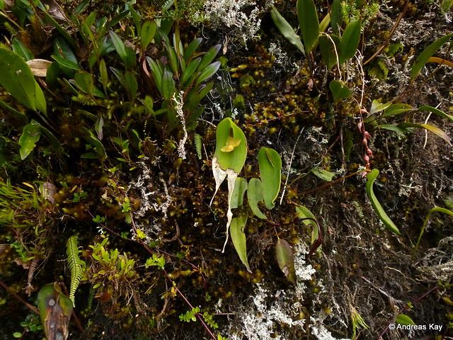 Pleurothallis lilijae