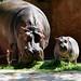 Hippo by PatrickHarperCR2