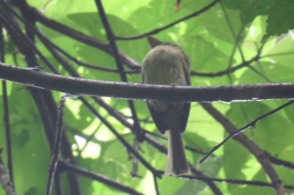 Olivaceous Flatbill - Rhynchocyclus olivaceus - Soberanía National Park, Panama, Panama - June 7, 2017