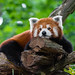 Tired Red Panda by Mathias Appel