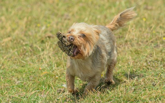 Yorkie Plays With Dried Sheep Plop