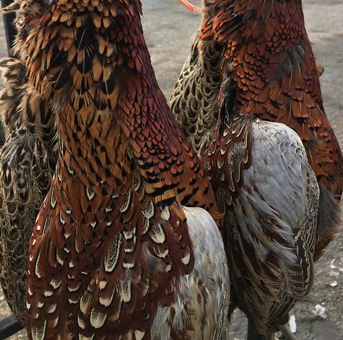 Pheasants 7   by Vicars Game Ltd