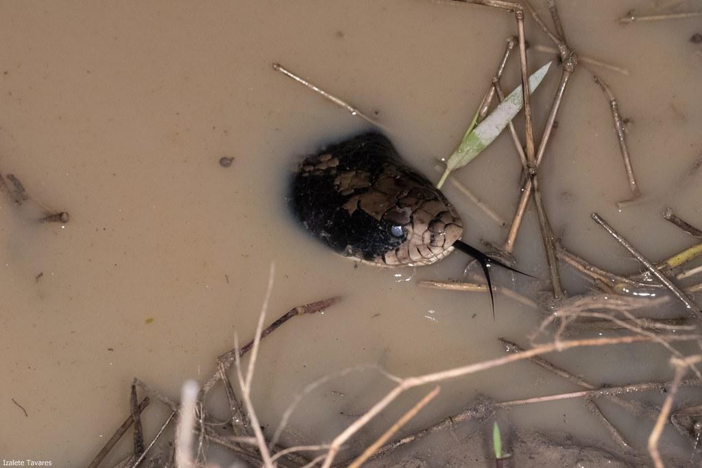 Hydrodynastes Gigas - Surucucu do Pantanal