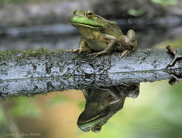 boggy froggy