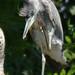 Herons Woodland Gardens Bushy Park 10th July