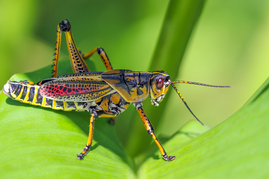 Colorful Grasshopper | © 2017 Daniela Duncan, All Rights Res ...
