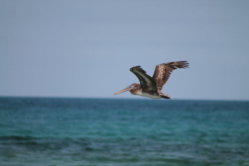 alcatraz (brown pelican) 06 2017 caro diego flickralcatraz (brown pelican) by caro diego