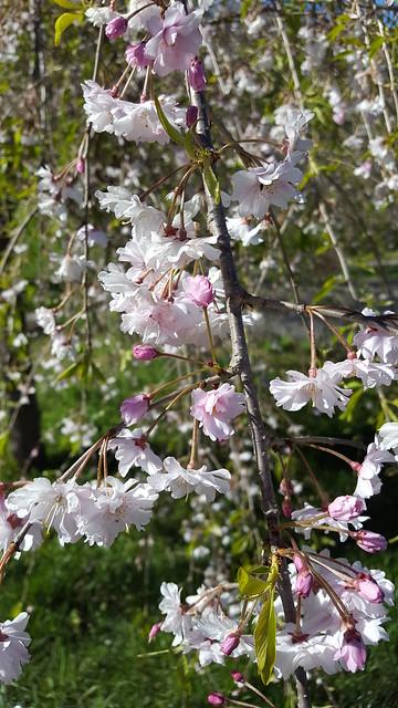 Carolina Blossoms