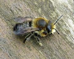Willughby's Leafcutter Bee - Megachile willughbiella