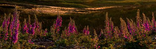 stanageedge foxgloves sunset cottongrass stitch evening derbyshire wildflowers