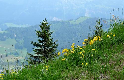 mountain switzerland wildflowers stanserhorn stans europe sandraleidholdt leidholdt