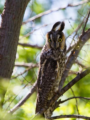 birds longearedowl owls waurika oklahoma unitedstates
