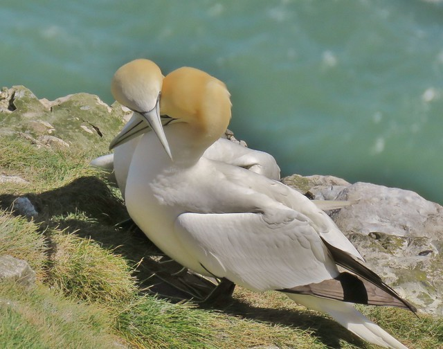 Pair of Gennets