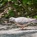 キジバト(Oriental turtle dove)