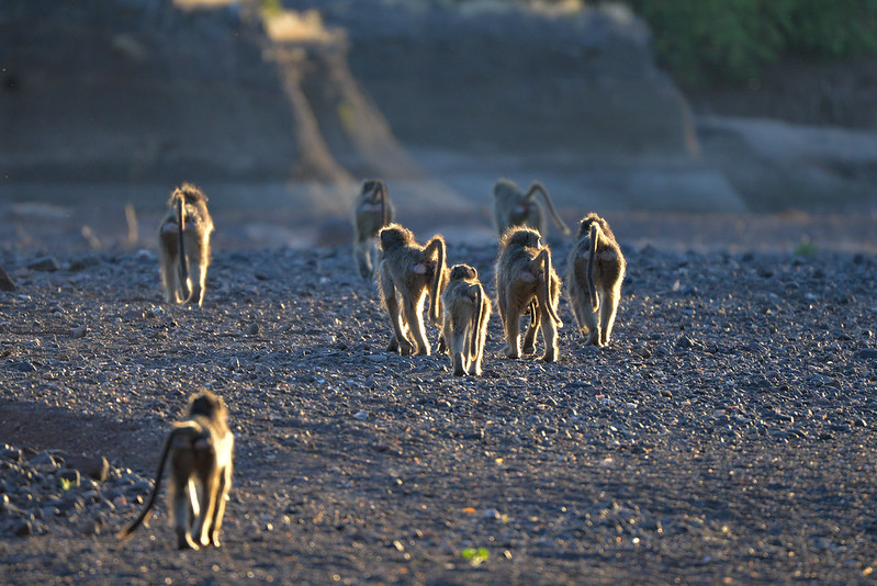 Baboons