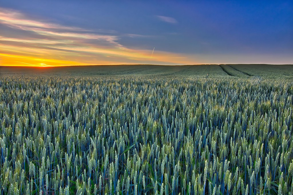 Sea of wheat - Mer de blé