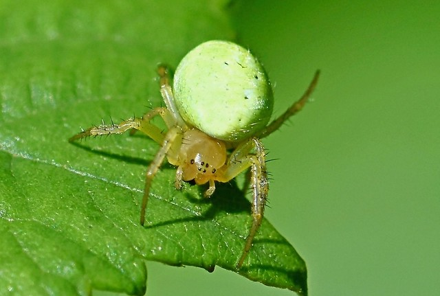 Green Orb-Weaver Spider