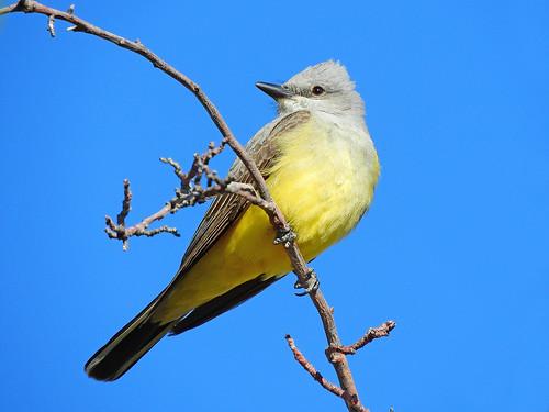 --Kingbird-W-AZ-DSCN9127 copy 2 | by Tricolor Brian