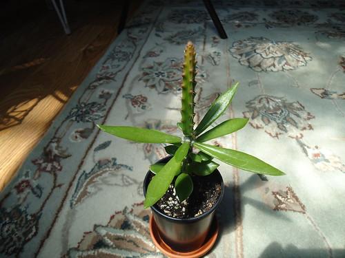 Aporophyllum Hybrid ' Haiko Paetz ' grafted
