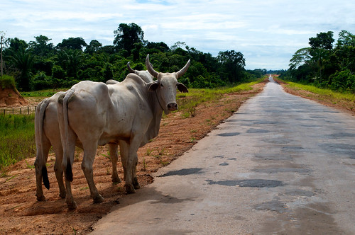 Roads and Cattle | by CIFOR