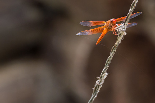 Red Orange Dragonfly | by staticantics