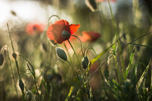 pentax k5 spring 2017 green red light countryside lazio italy colors meadow field perspective outdoor depthoffield plant smcpentaxm50mmf17 grass poppy bokeh evening wheat landscape stefanorugolo