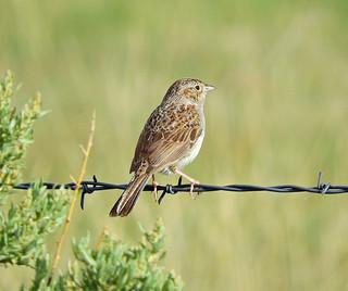 --Sparrow-Cassin's-NM-DSCN9155 copy 2   by Tricolor Brian