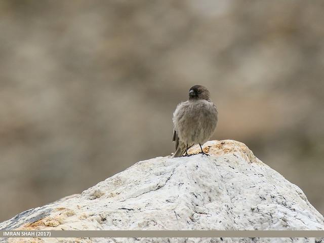 Brandt's Mountain Finch (Leucosticte brandti)