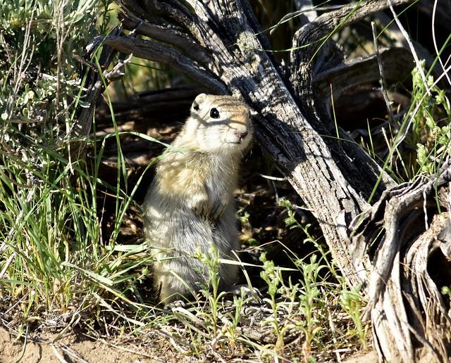 Wyoming ground squirrel on Seedskadee National Wildlife Refuge
