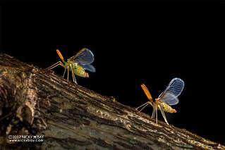 Derbid planthopper (Derbidae) - DSC_6019