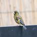 カワラヒワ(Oriental Greenfinch)
