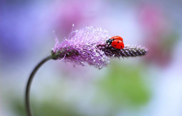 Ladybug 💜🐞🌾