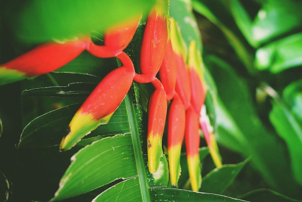 Helicônia Bihai - Balisier Flower (Brazil)