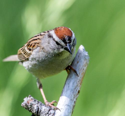 chippingsparrow sparrow spizella spizellapasserina americansparrow emberizidae nigelje kettleriver