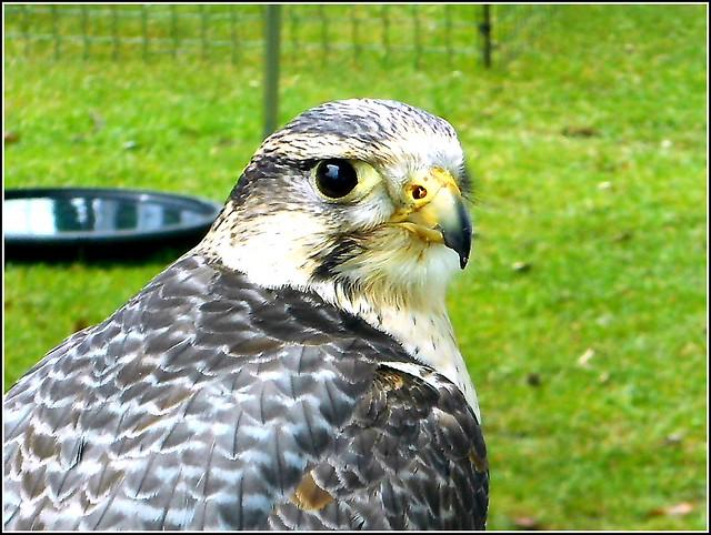 Falcon Portrait ..