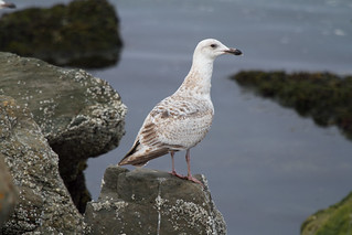 Pale Herring Gull (Larus argentatus) | by ipin-by-the-sea
