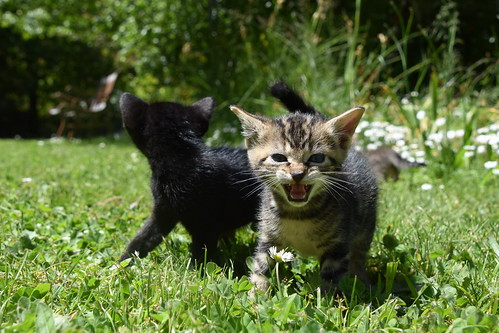 Kittens at Play | by Rob.Bertholf