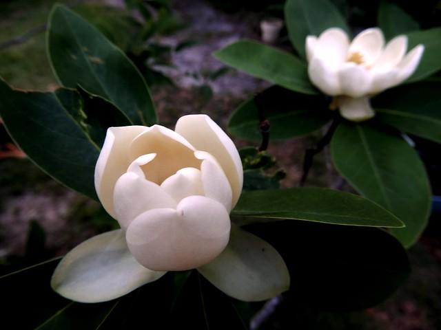 Sweet-bay magnolia