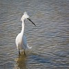 Snowy Egret by Peter Maguire