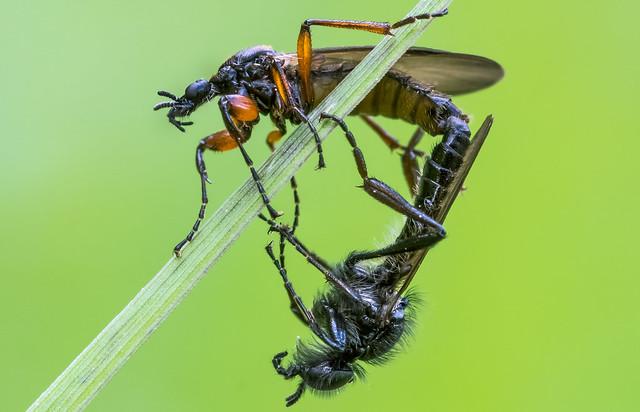 Haarmücken - Märzmücken (Bibionidae)