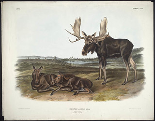 """""""Moose Deer,"""" coloured lithograph by John James Audubon / « Orignal et cerfs », lithographie en couleur de John James Audubon"""