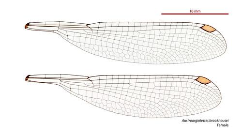 taxonomy:order=odonata wings taxonomy:binomial=austroargiolestesbrookhousei odonata geo:country=australia australia austroargiolestes forewing barringtonflatwing austroargiolestesbrookhousei australianmuseum dragonfly damselfly taxonomy:family=megapodagrionidae zygoptera hindwing brookhousei megapodagrionidae