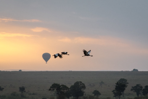 serian ngareserian safari birds maranorth vacation mara plains eastafrica kenya wildlife flight hotairbaloon maasaimara grassland sunrise crane alexwalker