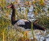 Magpie Goose (Anseranas semipalmata).01.(adult) by Geoff Whalan