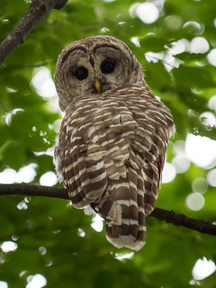 Momma Barred Owl | by ramcewan