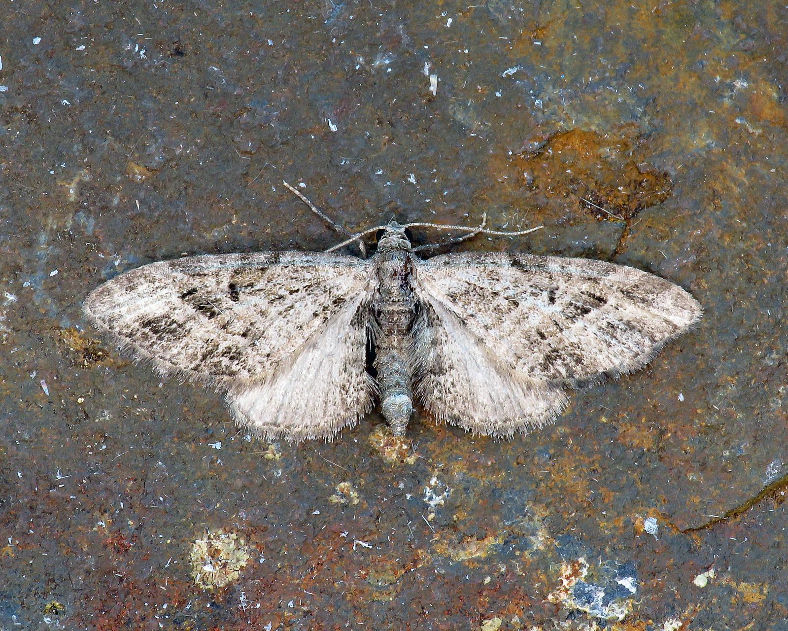 70.184 Mottled Pug - Eupithecia exiguata