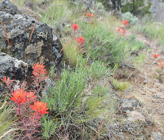 Indian Paintbrush Chimney Rock | by Hiking Central Oregon