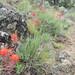 Indian Paintbrush Chimney Rock